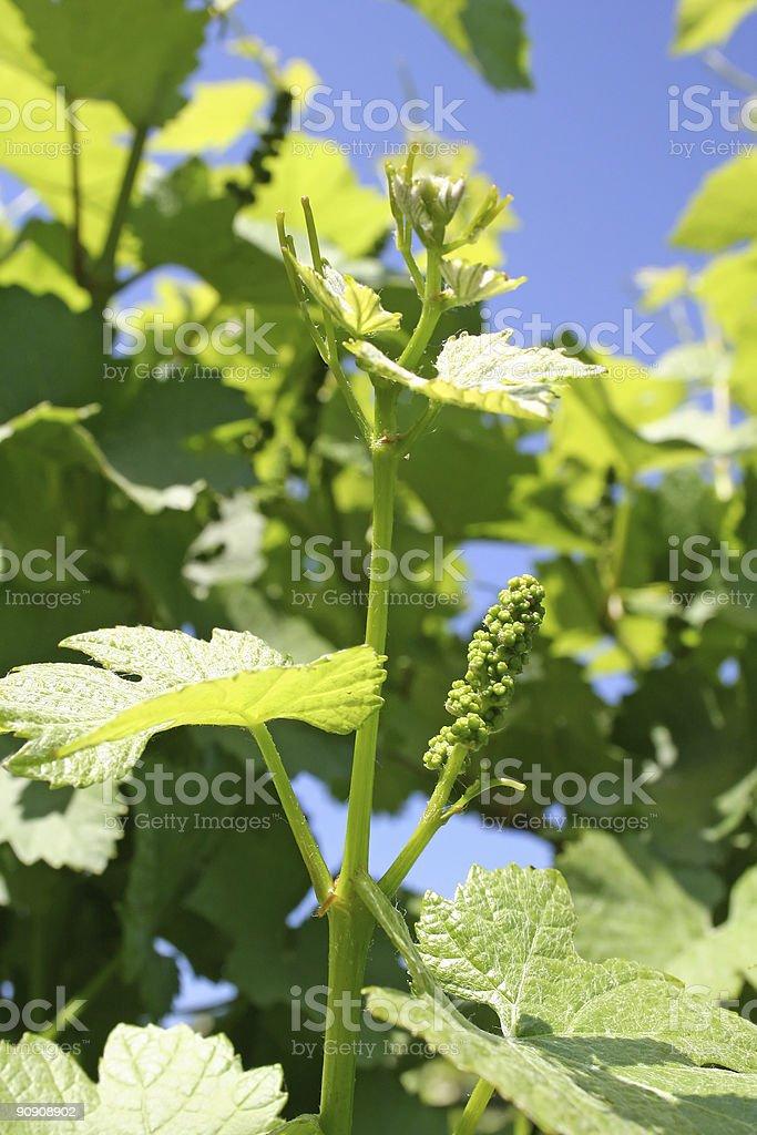 Grape Buds stock photo