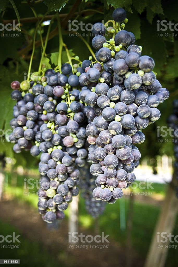 Grape bunch royalty-free stock photo