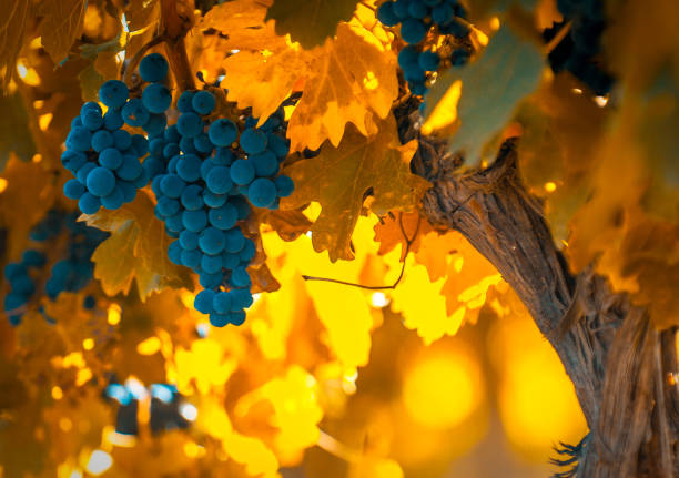 grape bunch, very shallow focus grape bunch, very shallow focus cabernet sauvignon grape stock pictures, royalty-free photos & images