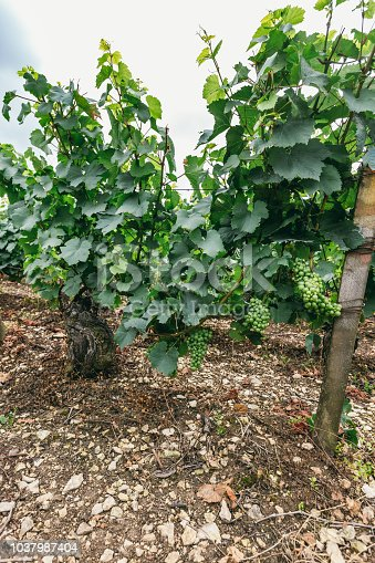 924487256 istock photo Grape bush close-up, winemaking in France, northern Burgundy 1037987404