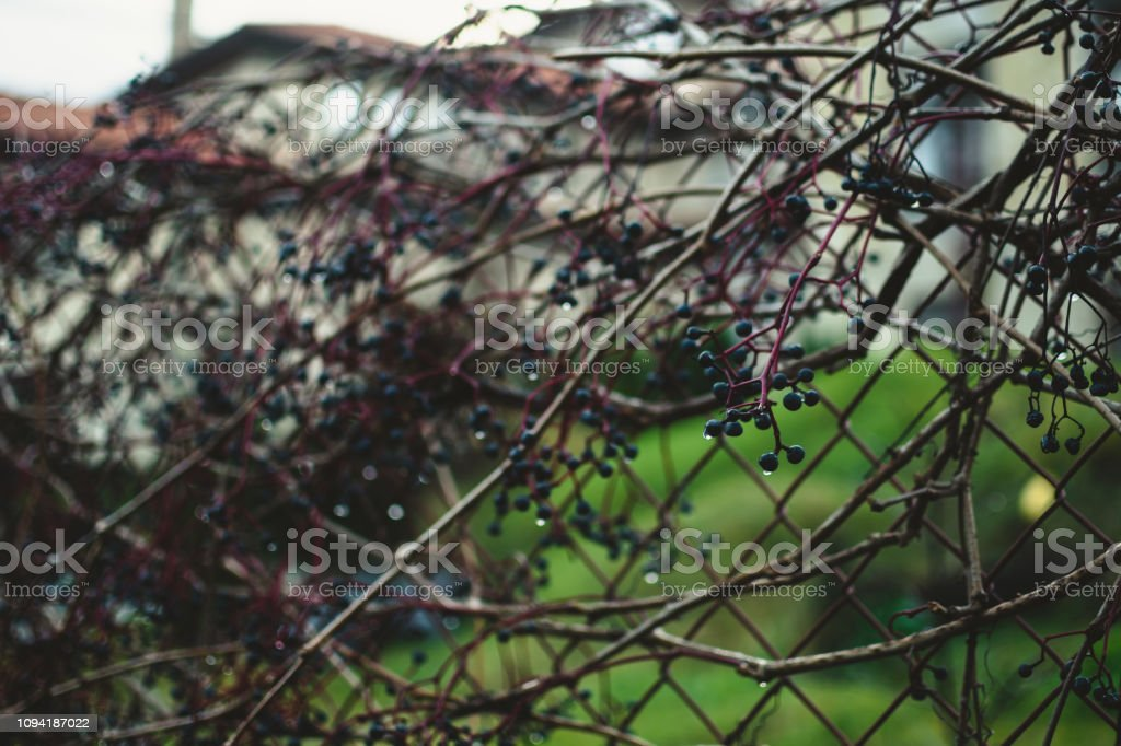 Grape Bush Growing Over The Net Near The Garden Pale Cold