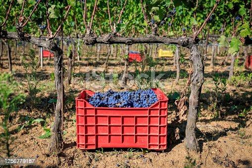 Grape cases in harvesting time in vineyard, Chianti, Tuscany