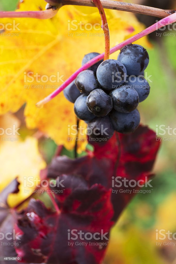 Grape closeup in autumn with red and yellow leaves stock photo