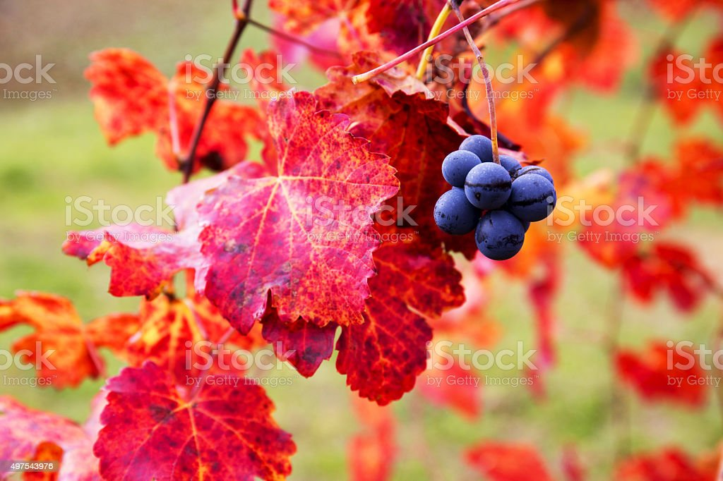 Grape closeup in autumn with red leaves stock photo