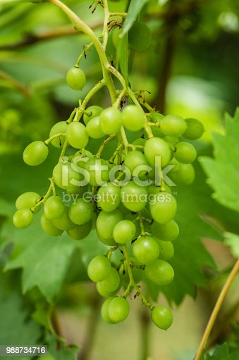 Raw, unripe grape cluster; close up, no people