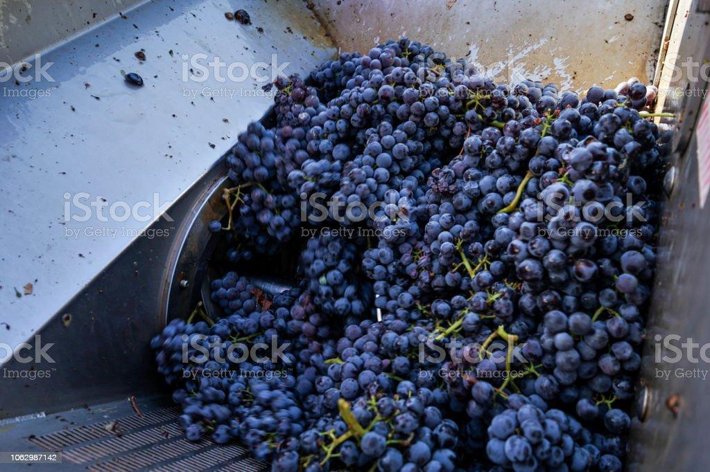 Grape cluster pressing - foto stock