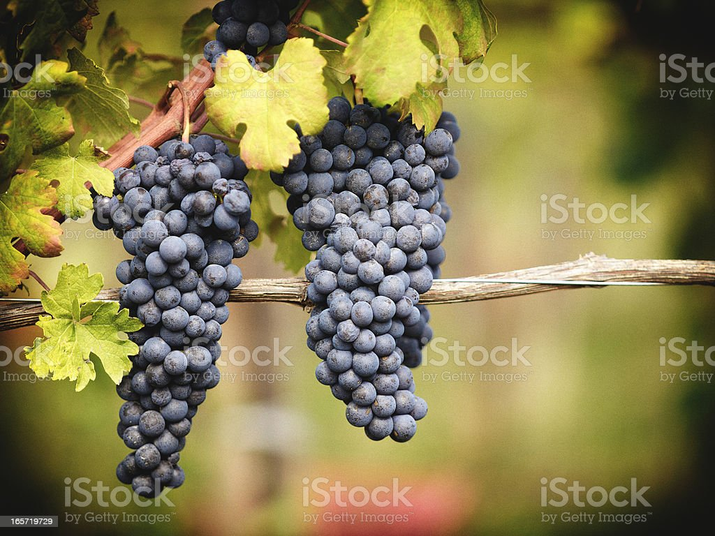 Grape. Color Image royalty-free stock photo