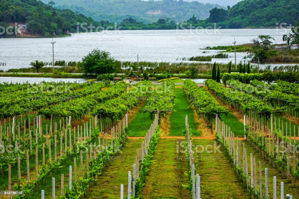 Grape farmland beside swamp stock photo