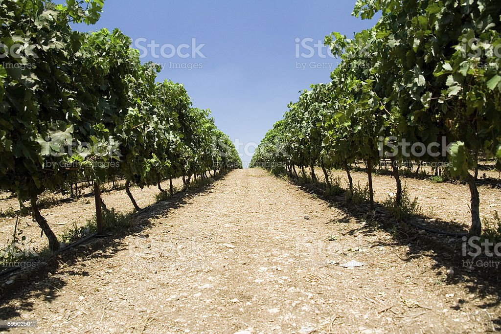 grape fields royalty-free stock photo