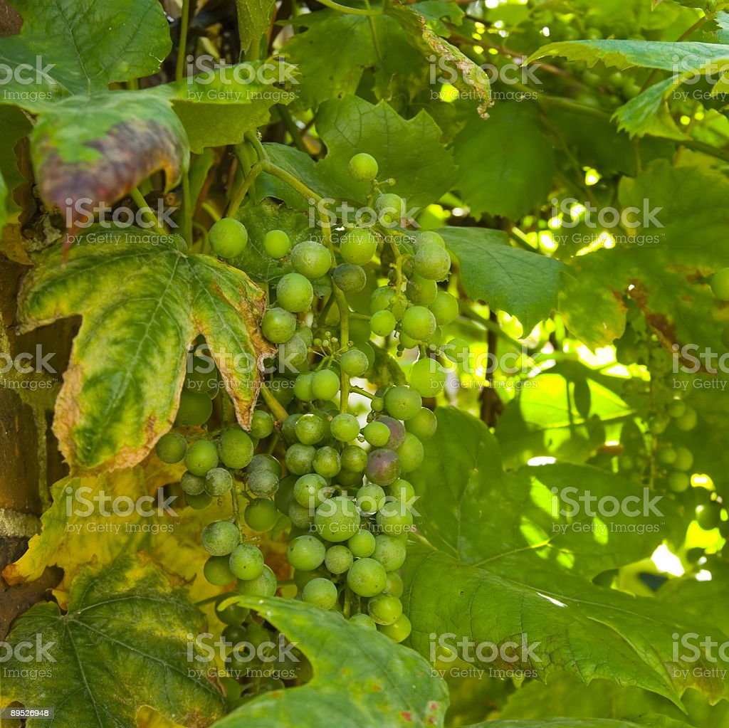 Grape Fruit against Wall (Vitis vinifera) royalty-free stock photo
