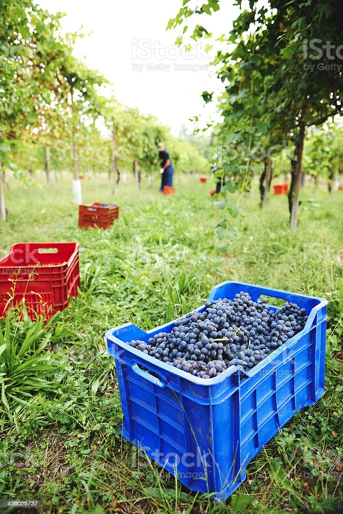 Grape Harvest. Color Image royalty-free stock photo