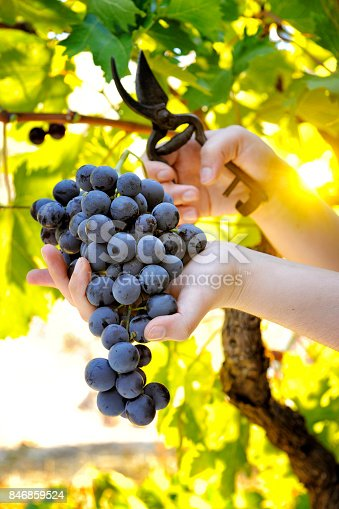istock Grape harvest for wine production 846859524