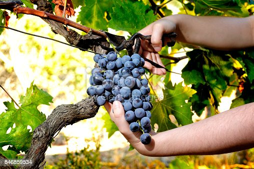 istock Grape harvest for wine production 846859534