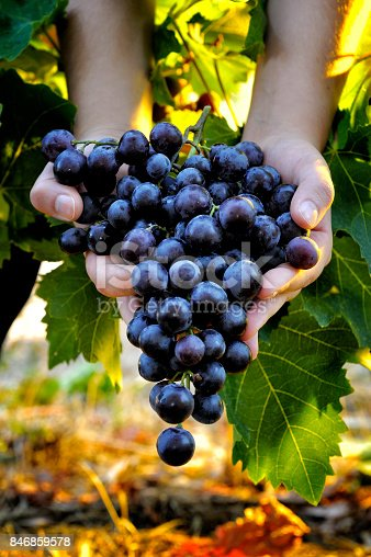 istock Grape harvest for wine production 846859578