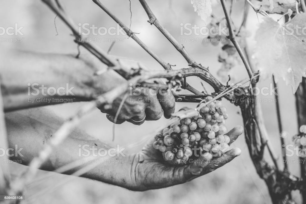 Grape harvest in the Tuscan hills. stock photo