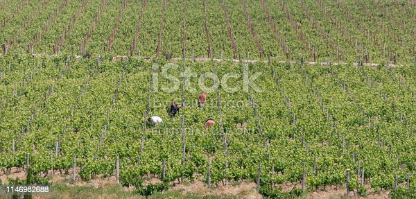 Empuriabrava, Spain - April 24, 2017: Workers picking grapes during the harvest season in a vineyard in the Beaujolais region of France.