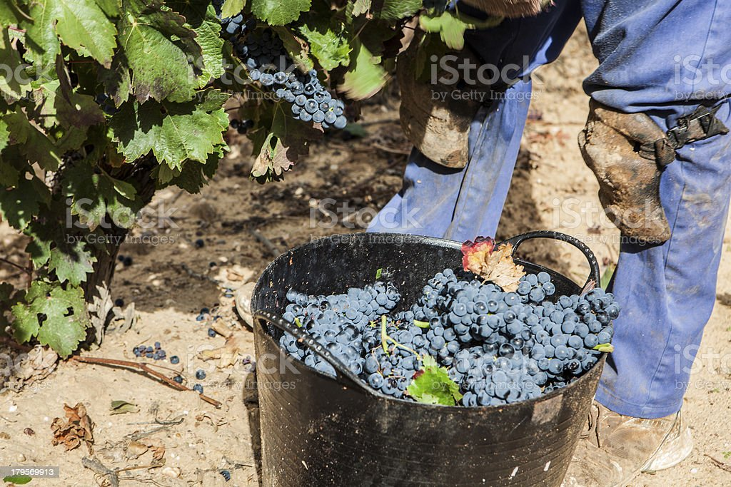 grape harvest royalty-free stock photo