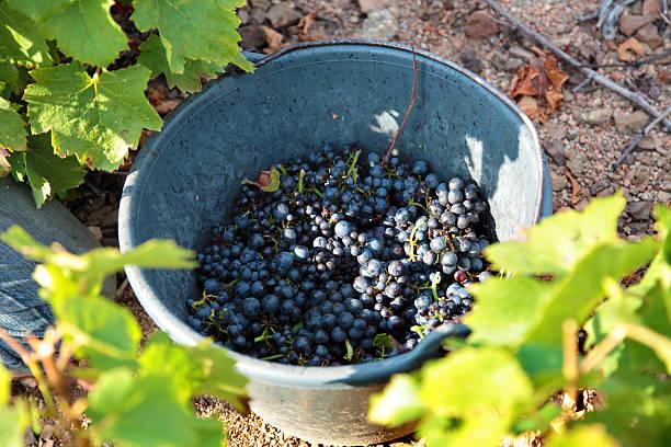 grape harvest - bordeaux wein stock-fotos und bilder
