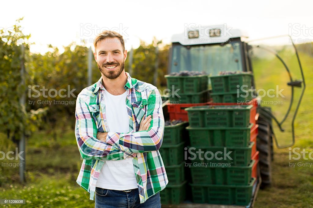 Grape harvest stock photo