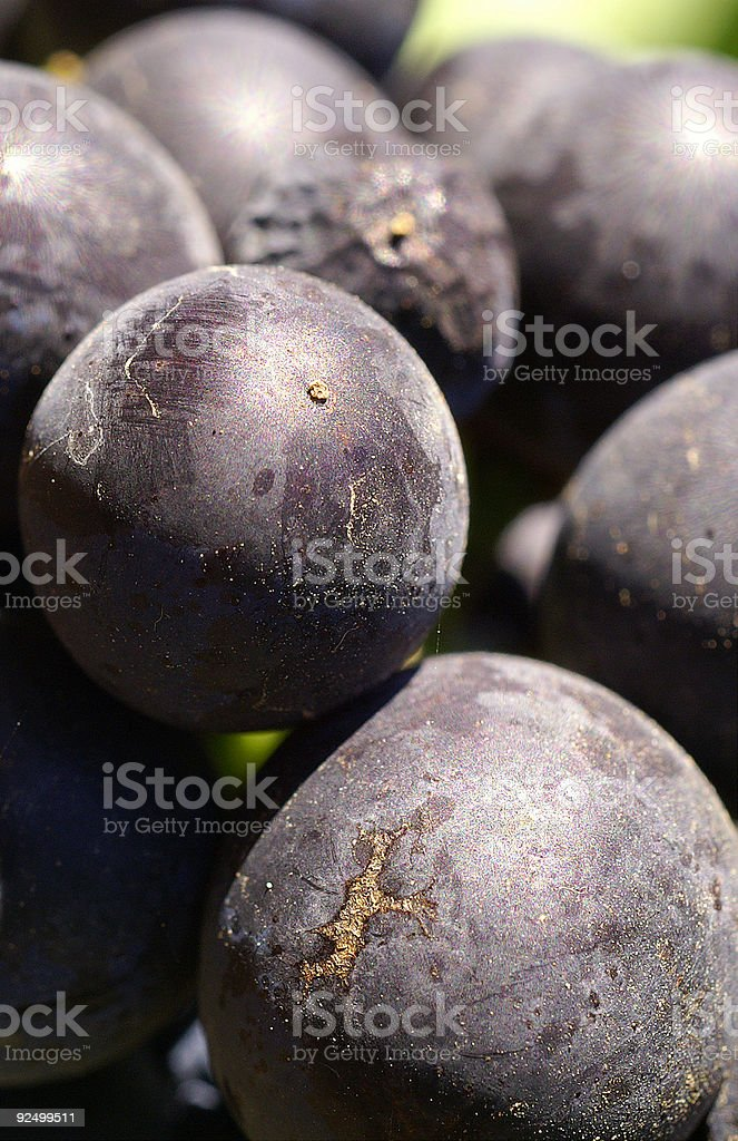 Grape Harvest time too royalty-free stock photo