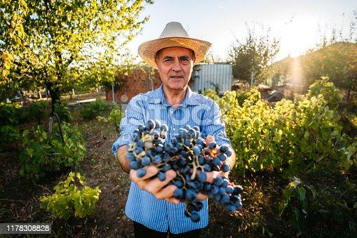 Senior active Caucasian male grape harvester in vineyard holding grapes.
