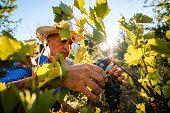 Senior active Caucasian man harvesting grape in vineyard.