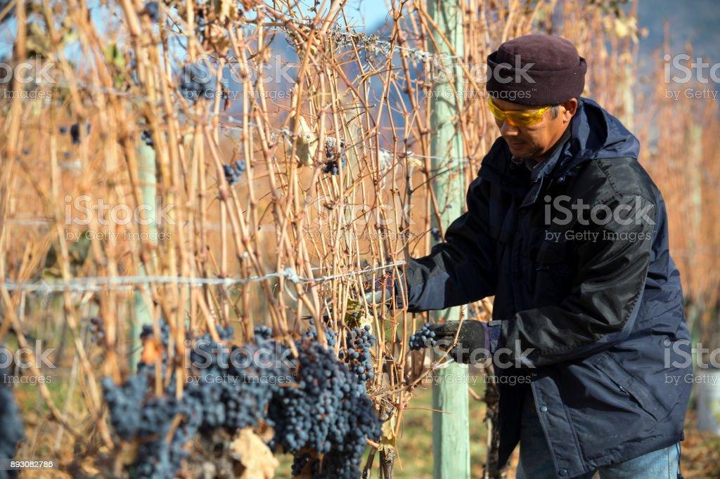 Grape Harvesting Okanagan Valley British Columbia stock photo