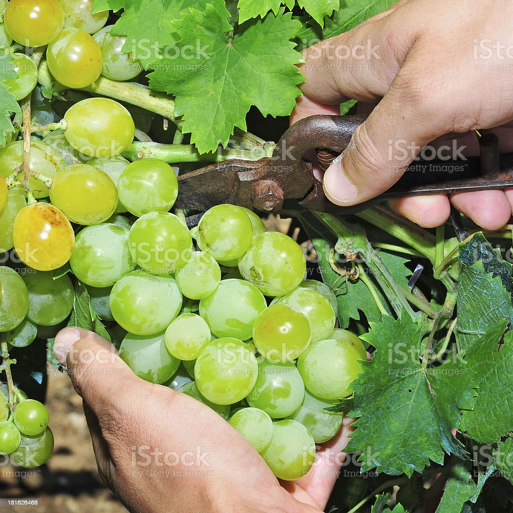 grape harvesting royalty-free stock photo