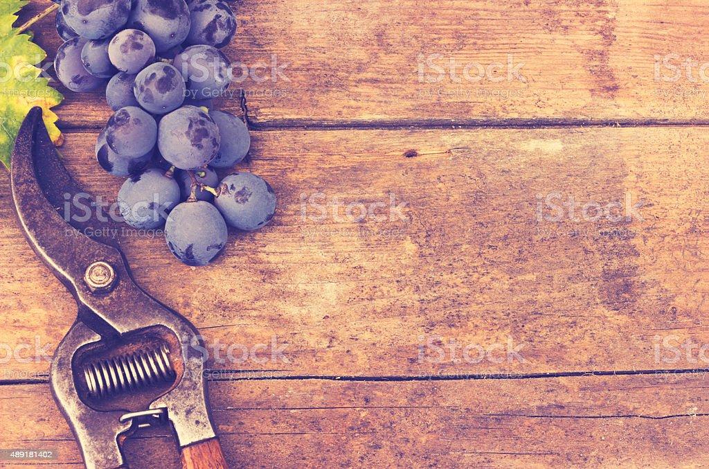 Grape harvesting stock photo