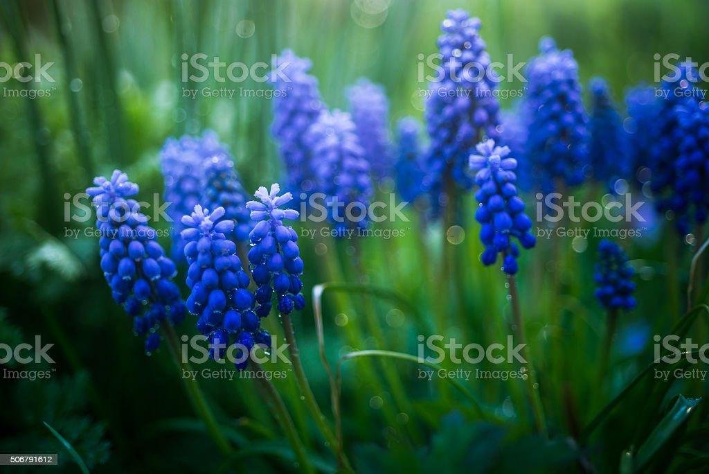 Grape hyacinth after rain stock photo