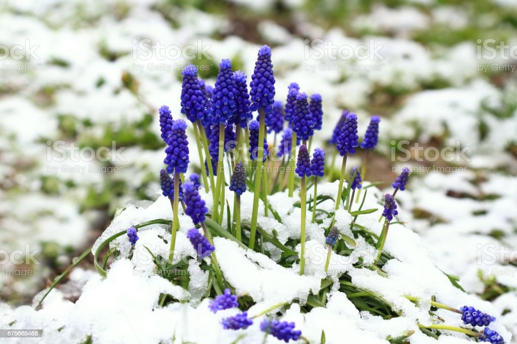 Grape hyacinth flower, Muscari Armeniacum,   in the snow royalty-free stock photo