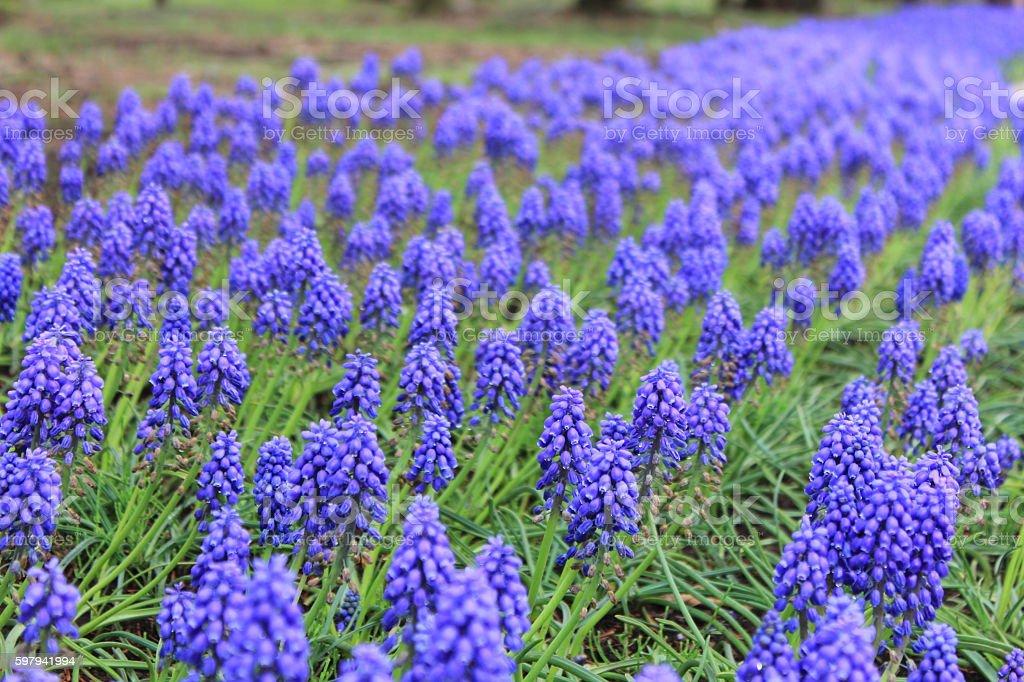 Muscari flores  foto royalty-free