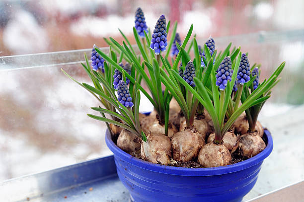 Grape hyacinth in a flower pot  plant bulb stock pictures, royalty-free photos & images