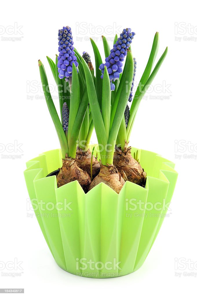 Grape Hyacinth in a pot at isolated white background stock photo