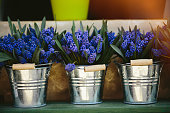 Grape hyacinth Muscari flowers. blue muscari armeniacum flowers on spring garden with natural blurry background, space for text. Sunny meadow. Spring season. Isolated. in