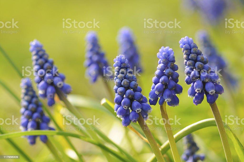 Grape Hyacinth stock photo