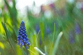 istock Grape Hyacinth 1218207623