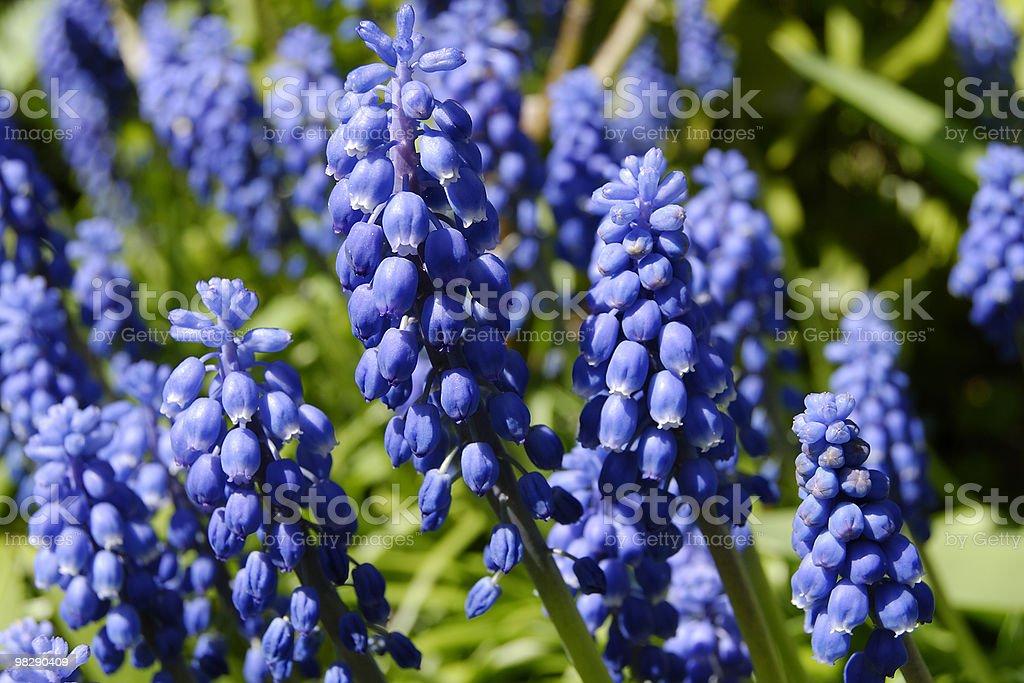 Grape Hyacinth (Muscari) royalty-free stock photo