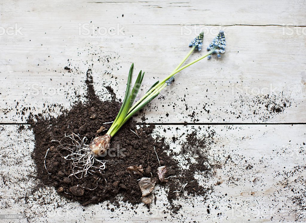 Grape hyacinth plant laying on dirt pile with roots exposed royalty-free stock photo