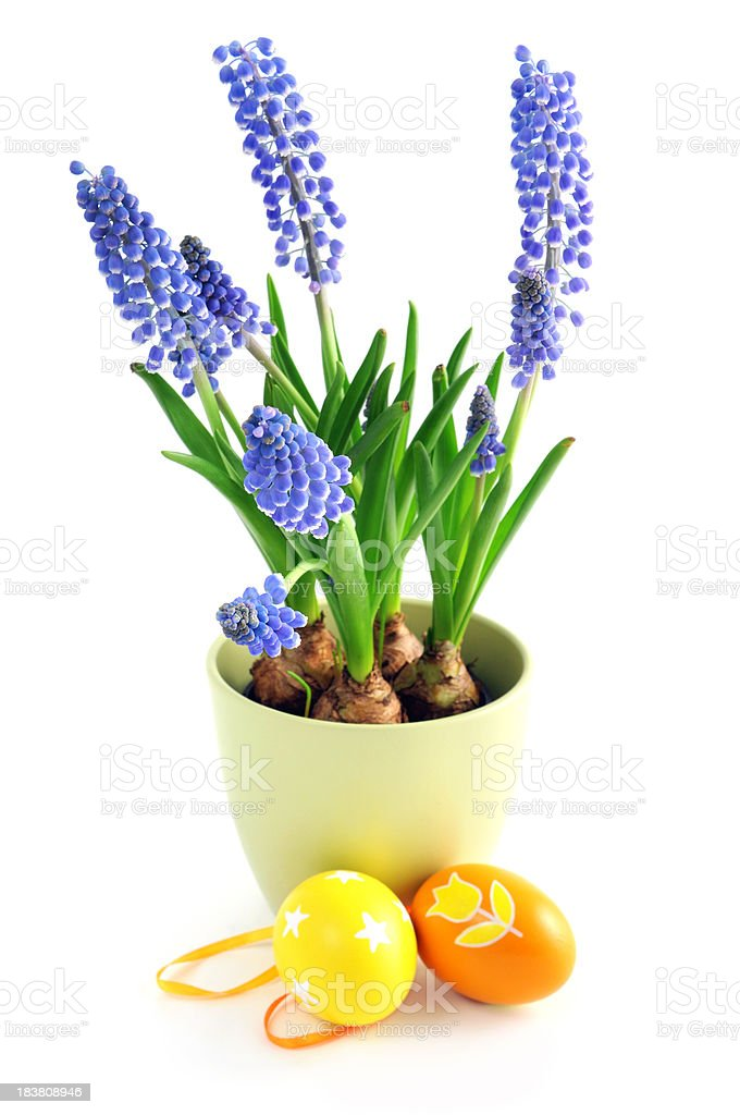 Grape Hyacinth with easter eggs at isolated white background stock photo