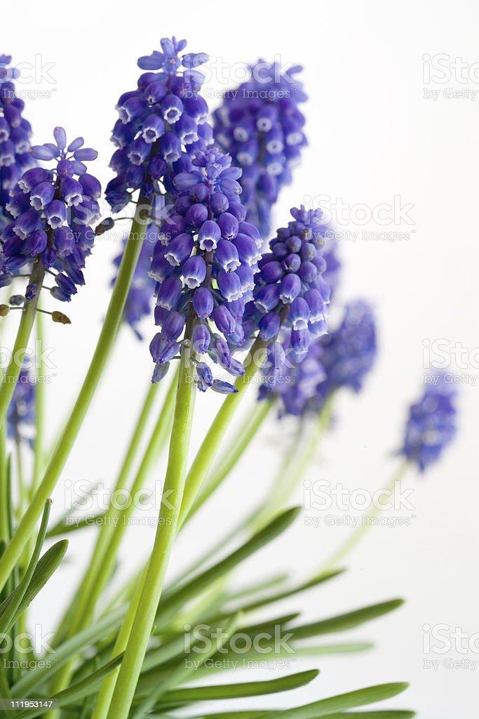 Grape Hyacinths stock photo