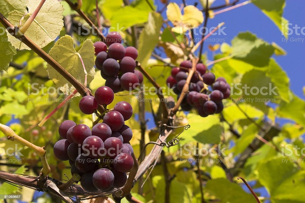 grape in the autumn royalty-free stock photo
