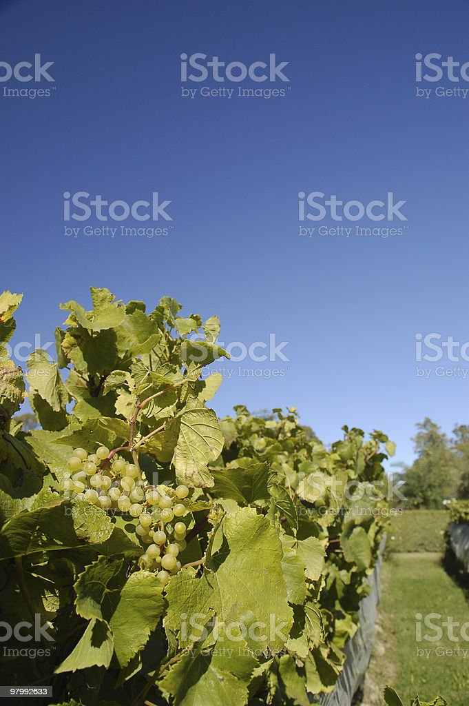 Grape in Vineyard royalty-free stock photo