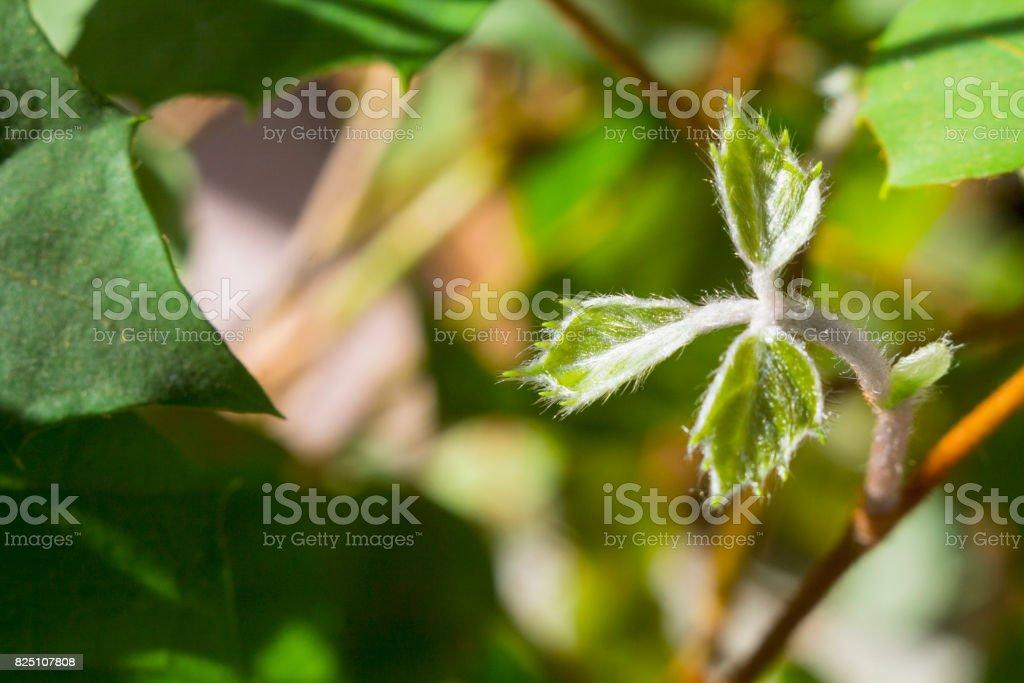 Grape ivy stock photo