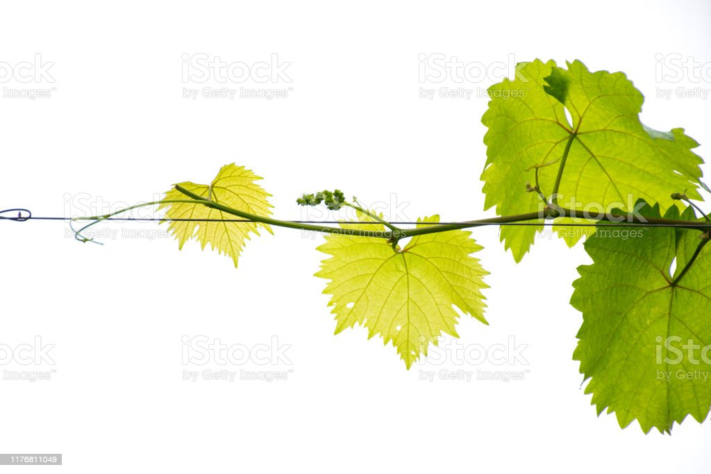 Grape Leaf And Branch On White Background Stock Photo Download Image Now Istock