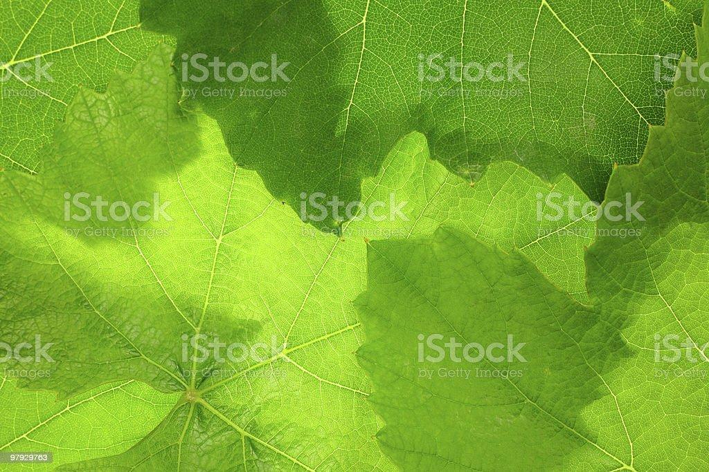 Grape leaf background royalty-free stock photo