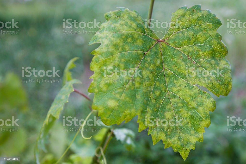 Grape leaf disease stock photo