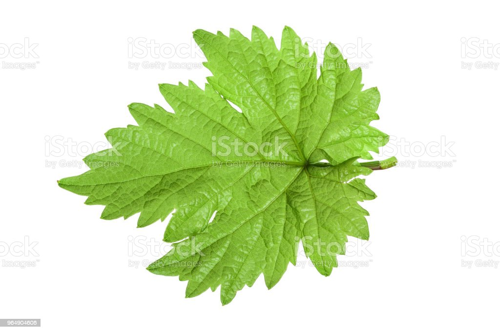 Grape leaf isolated on the white background royalty-free stock photo
