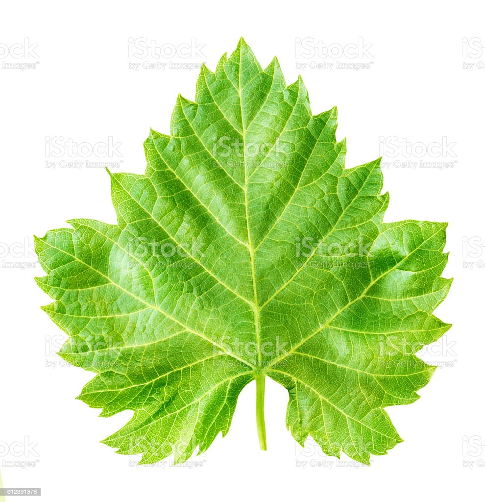 grape leaf isolated on white stock photo