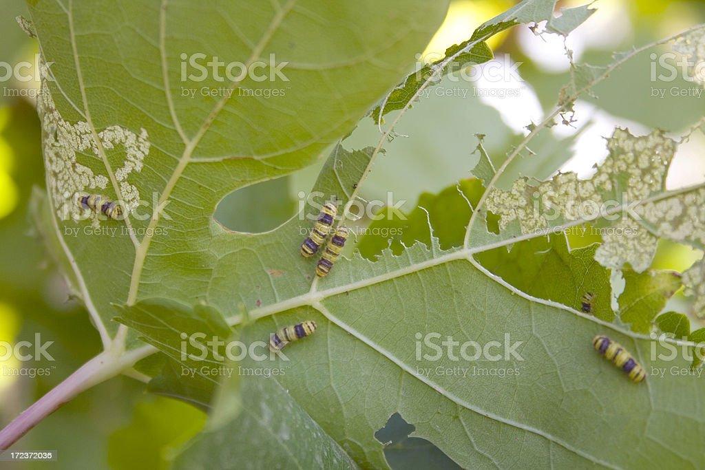 Grape Leaf Skeletonizer Destruction stock photo